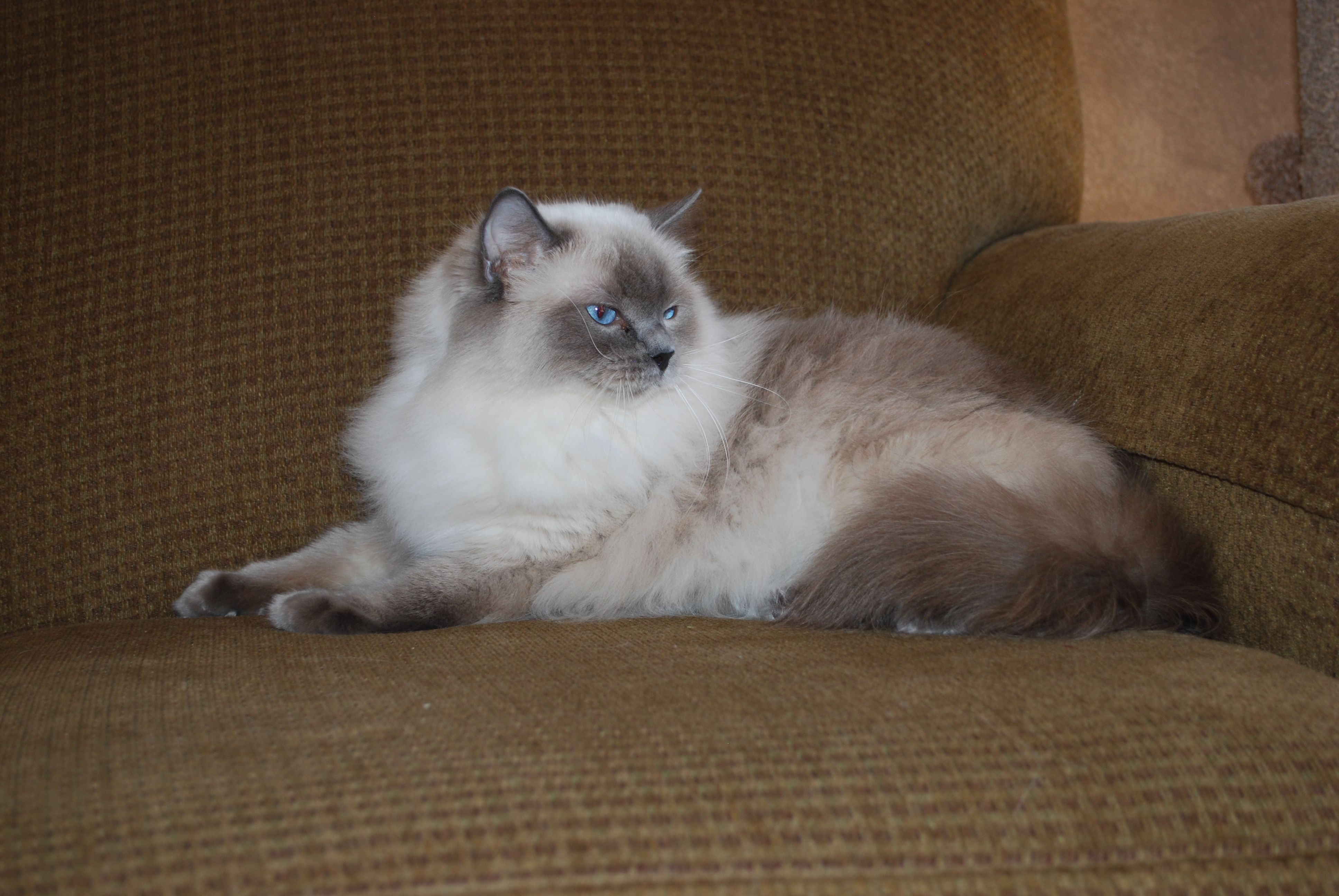 Callie, ragdoll breeding queen
