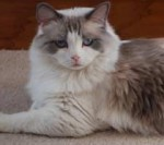 Prudence, a retired female ragdoll breeder