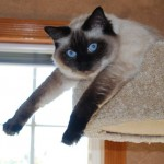 Chloe, retired ragdoll breeder, hanging out stretching
