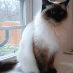 A full length picture of Chloe the ragdoll