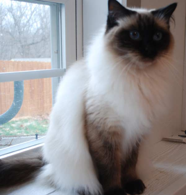 Retired – Graceful Dolls Ragdoll Cattery