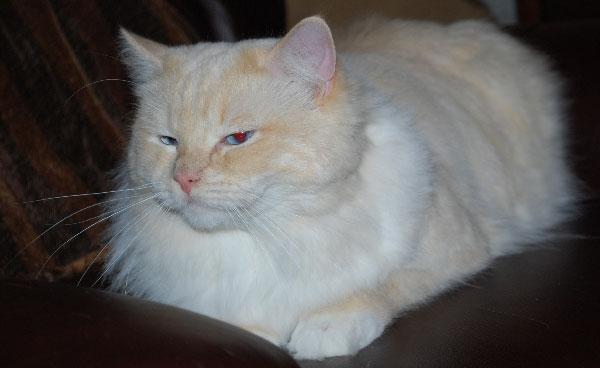 Lambert a male ragdoll cat at Graceful Dolls ragdoll breeder