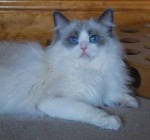 Holly a ragdoll cat, lying around