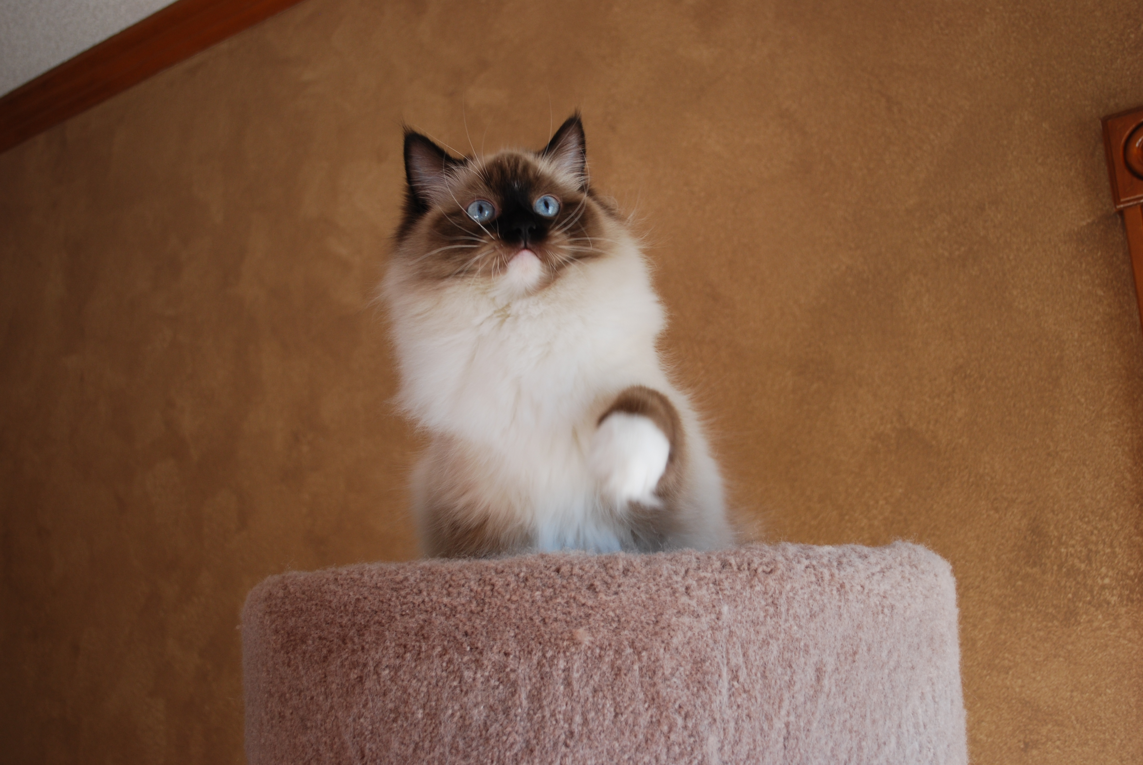 Hope, ragdoll female cat