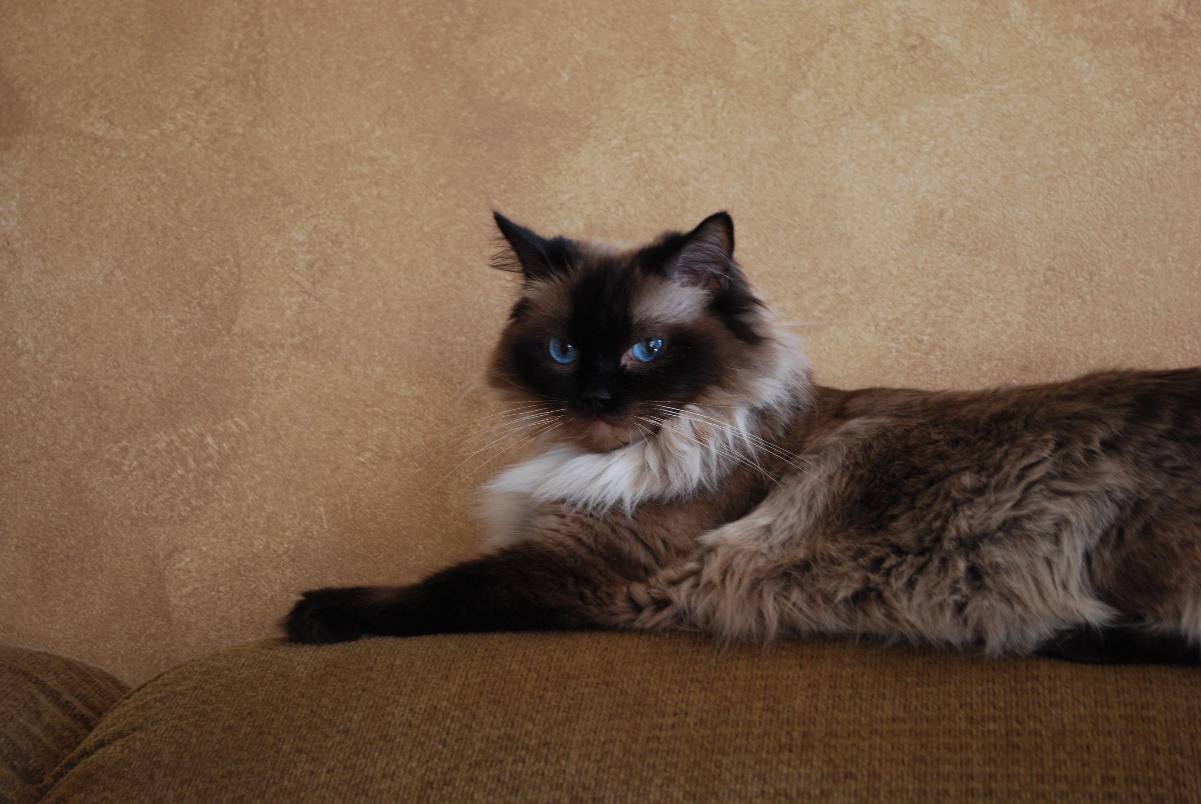 Katie-ragdoll-cat