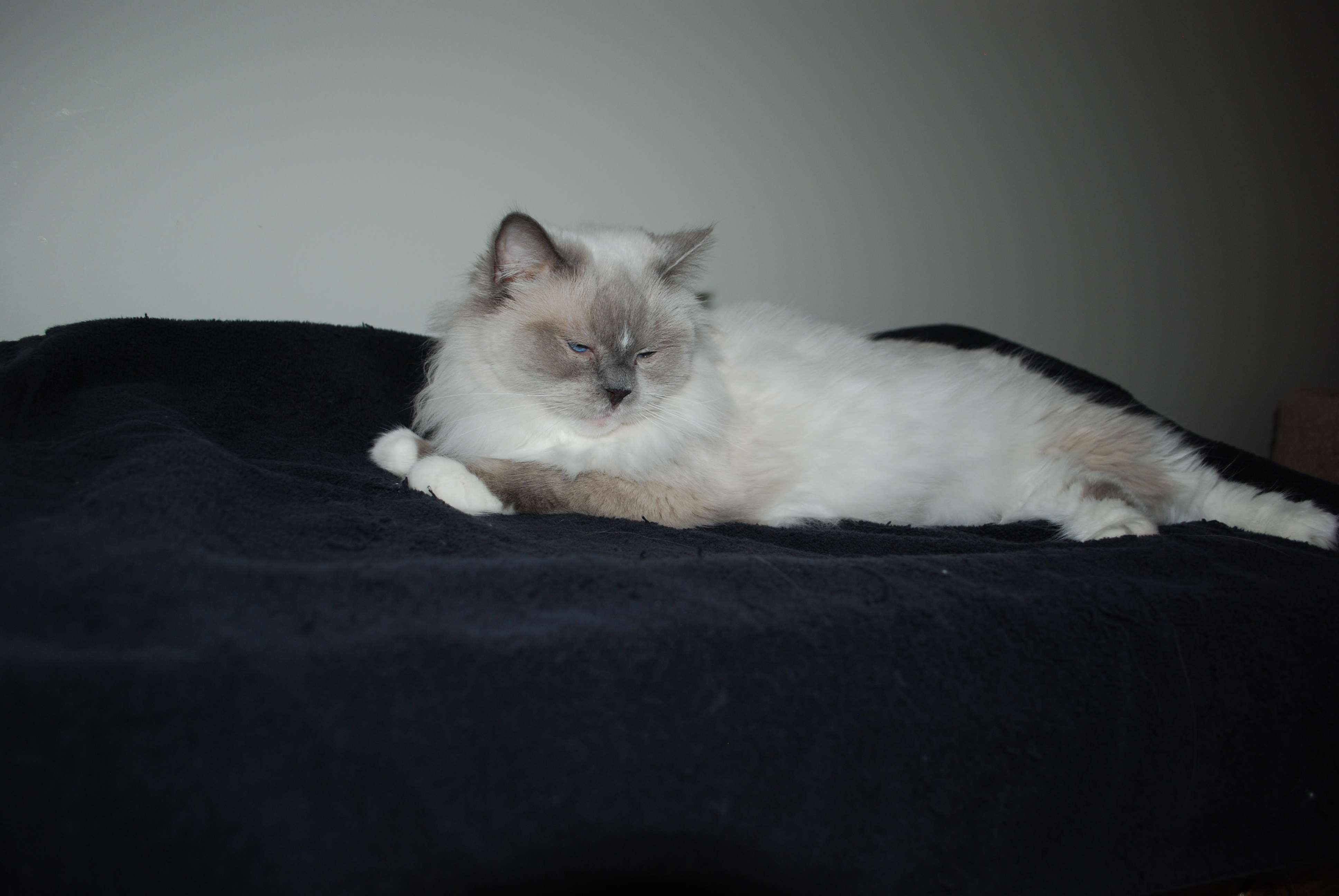 Misty, ragdoll cat and breeder