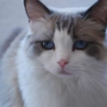 Prudence the retired ragdoll breeder, looking toward the camera