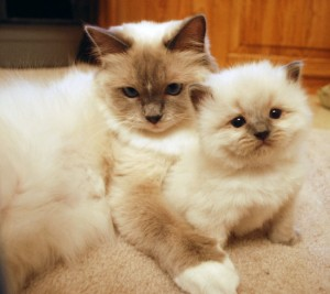 Misty a ragdoll queen and her kitten