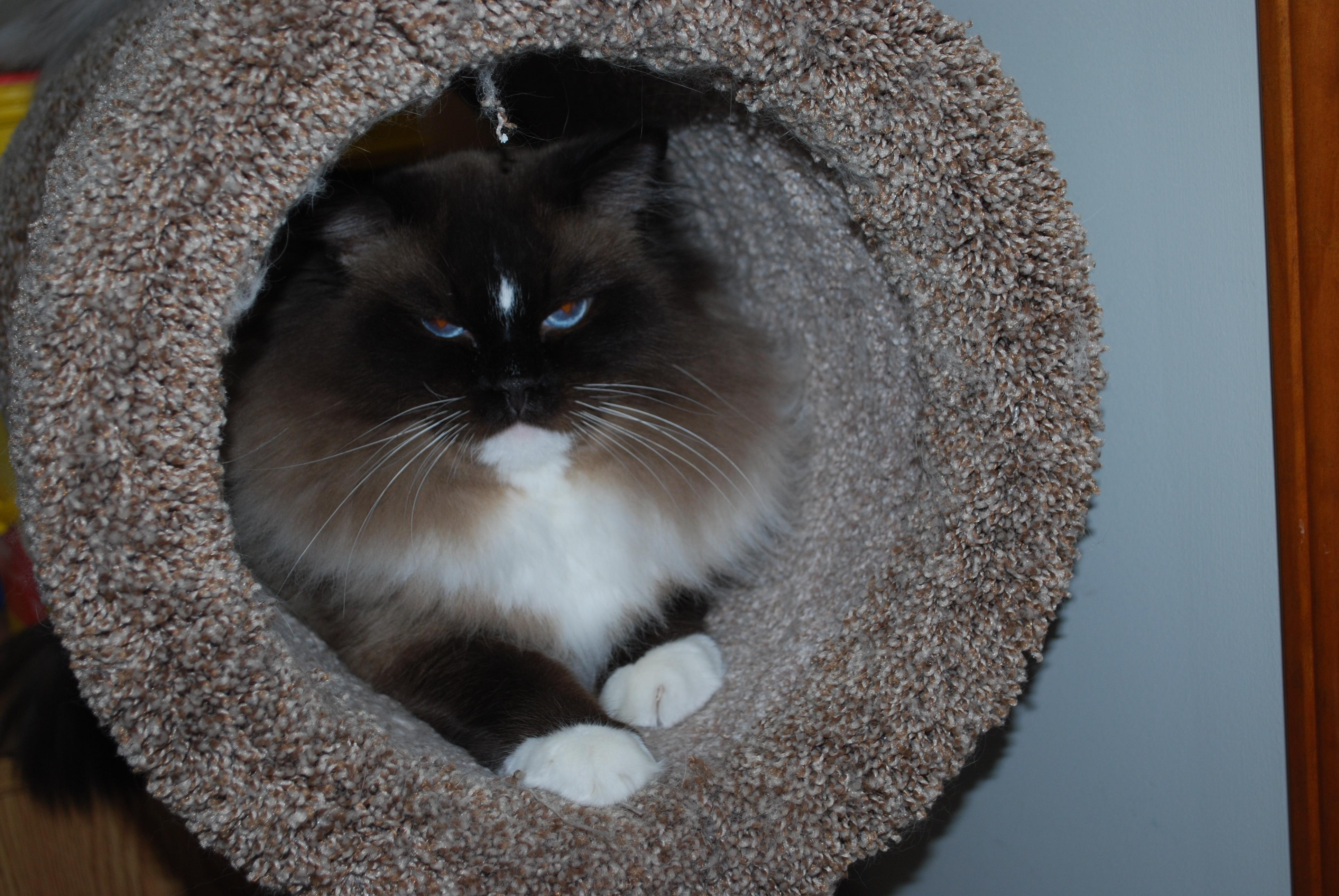 Wesley Ragdoll king cat