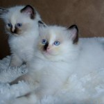 ragdoll kittens looking off