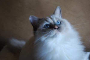 A six month old ragdoll kitten we currently call Pinkie