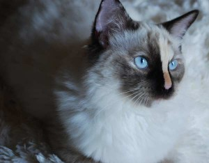 A 7 month ragdoll kitten that needs adoption