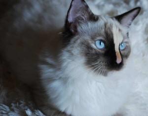 A 7 month ragdoll kitten that needs adoption