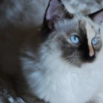 Susie,  Seal Mitted Tortie with a Blaze ragdoll kitten