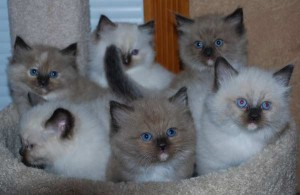 Group of Ragdoll kittens sitting together