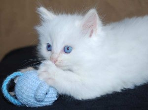 One of Gracie's ragdoll kittens for sale