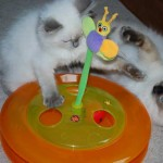 Ragdoll kitten playing with a toy