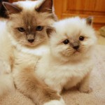 Ragdoll kitten with queen