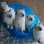 Cute ragdoll kittens in a basket