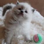 Kitten standing next to toy