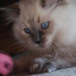 Kitten lying behind a ball