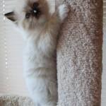 Kitten climbing a pole