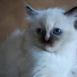 Close up of a ragdoll kitten