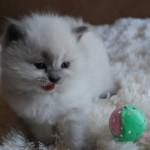 Kitten meowing next to toy