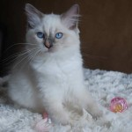 Older kitten sitting with a pink ball