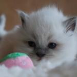 A ragdoll kitten stalking a ball