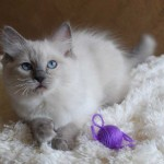 Ragdoll kitten lying with ball of yarn