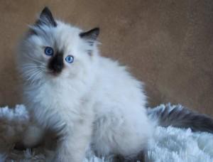 One of Misty's ragdoll kittens for sale