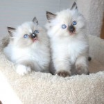 Ragdoll kittens sitting in a cat perch