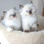 Ragdoll kittens sitting in a cat perch