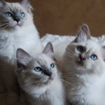 Ragdoll kittens looking up at camera