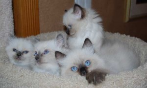 Ragdoll kittens from Bella's litter