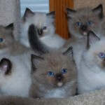 Litter of Mink and Traditional Ragdoll Kittens
