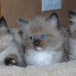 Three mink ragdoll kittens