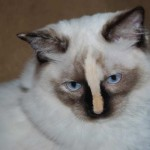 A ragdoll kitten close up - Seal Mitted Tortie with a Blaze