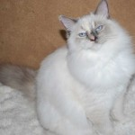 female ragdoll kitten sitting on a rug
