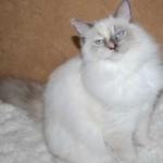 female ragdoll kitten sitting on a rug