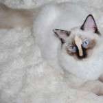 ragdoll kitten available for adoption lying on rug