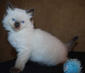 A male seal colorpoint ragdoll kitten