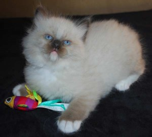 A seal mitted male ragdoll kitten