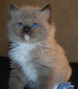 seal mitted mink kitten for sale
