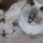 Ragdoll kitten sleeping with ragdoll cat