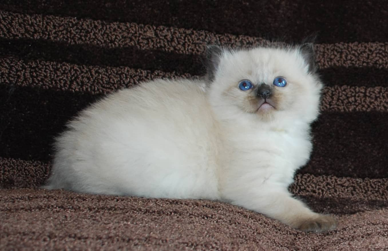 Blue eyed ragdoll kitten