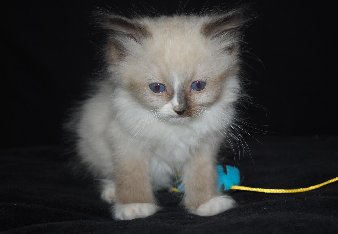 Cream mitted ragdoll kitten
