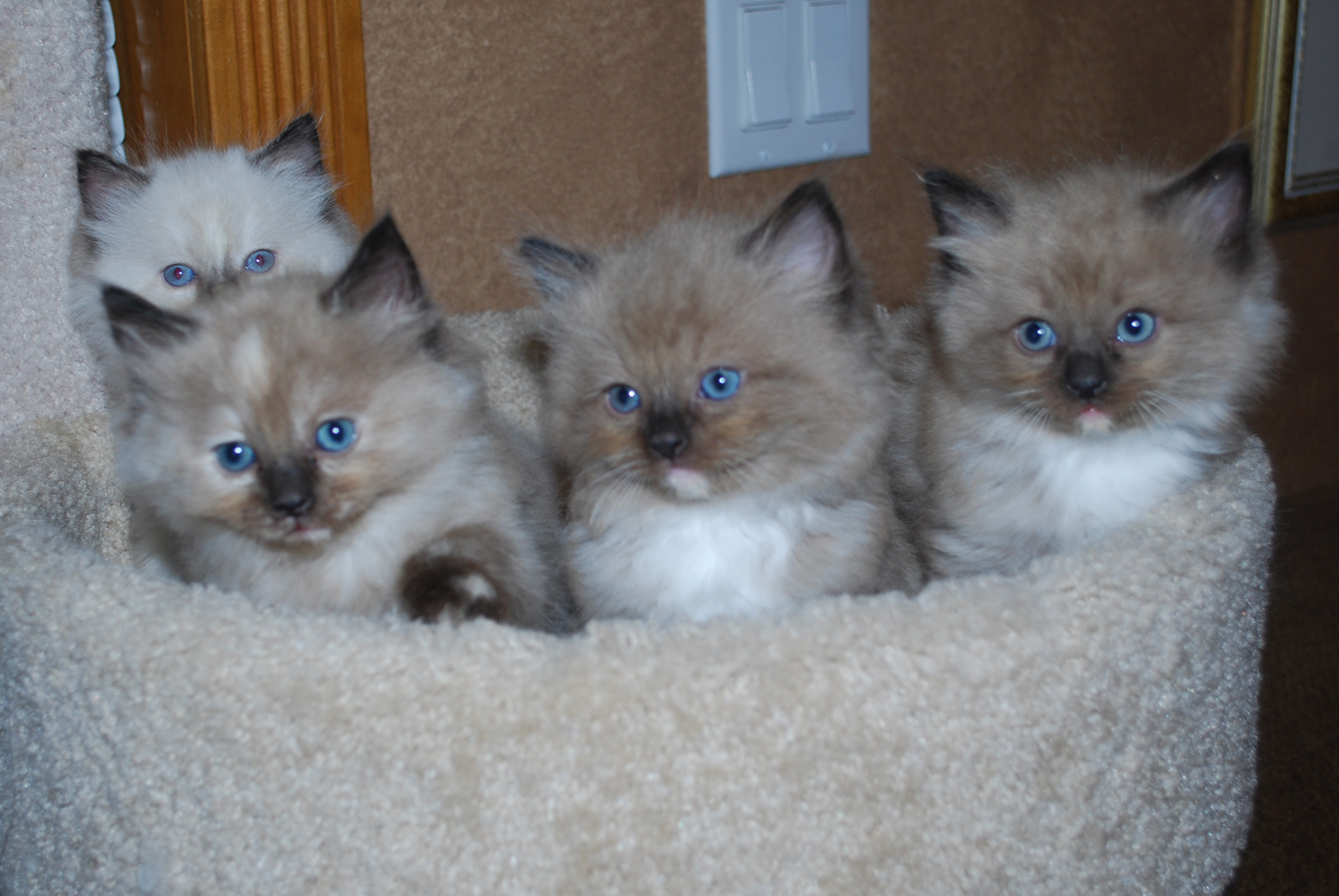 Cute Ragdoll Kittens in a cat tree