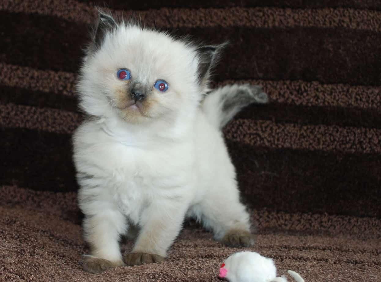 Mink bicolor ragdoll kitten